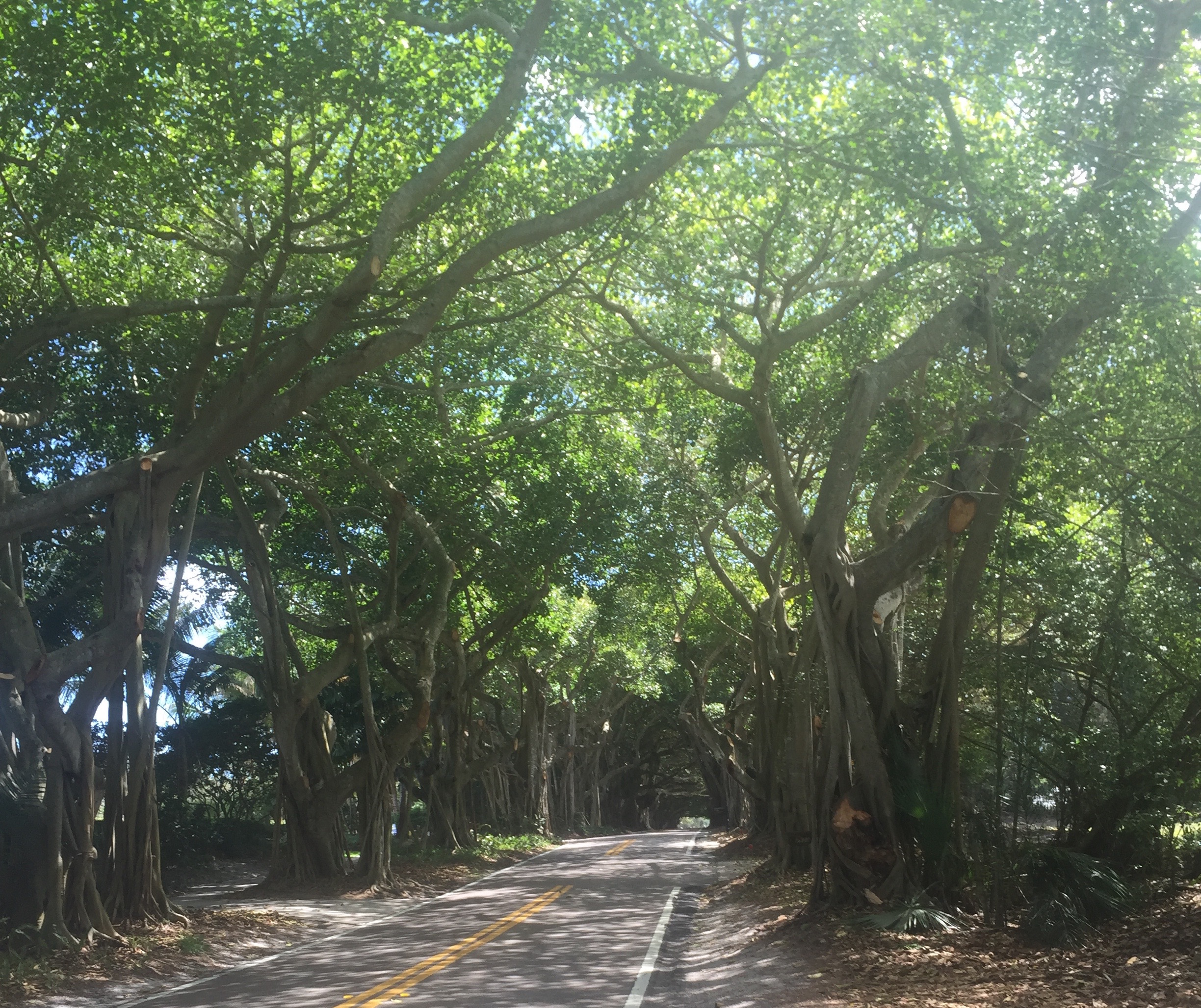 Banyan trees covering the road.