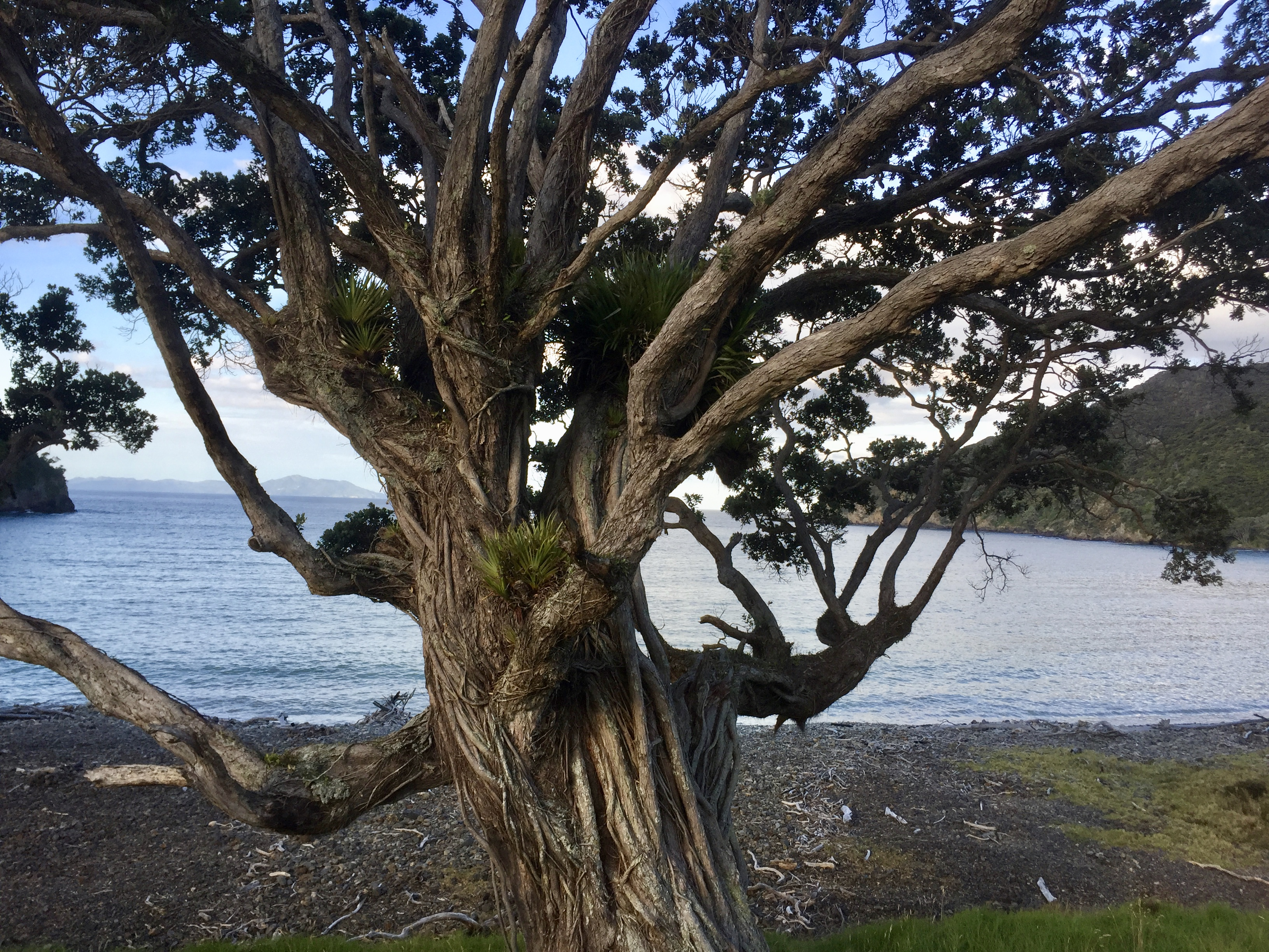 Pōhutukawa Tree