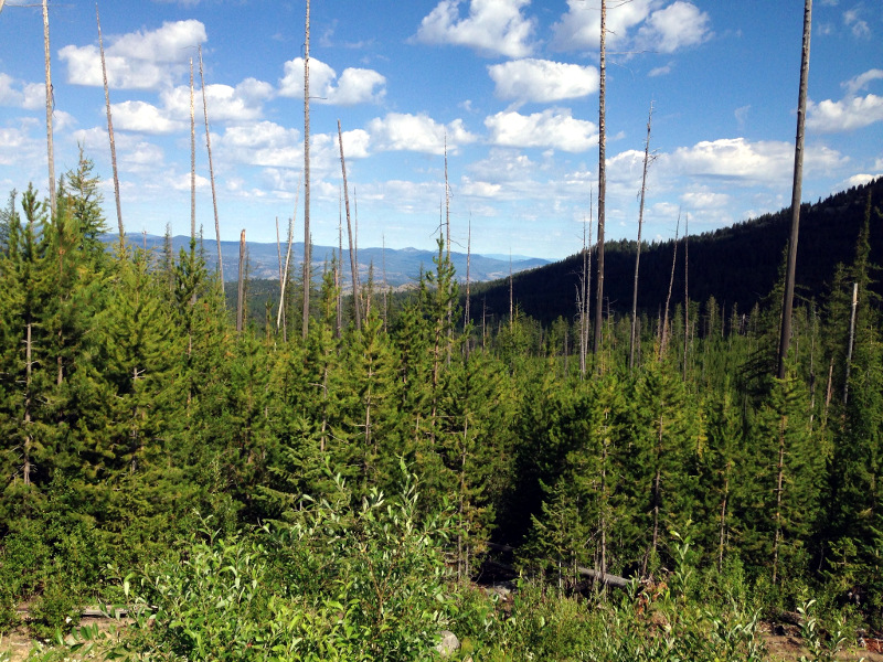 This is the view from the White Mountain view point. There had been a devestating forest fire here in 1988 which burned more than 20,000 acres. It was nice to see all these young trees sticking up through the dead wood.