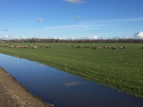 Sheep green grass