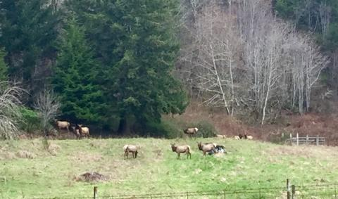 Elk on Yachats River Road